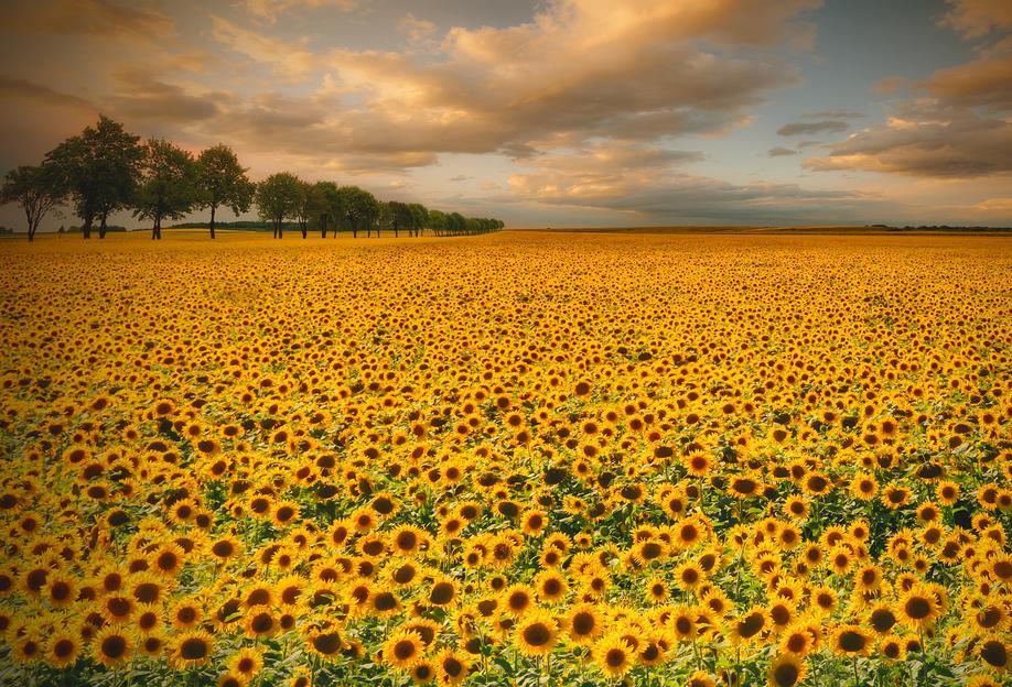 Sunflowers - Piotr Krol (Bax) Aluminium Print