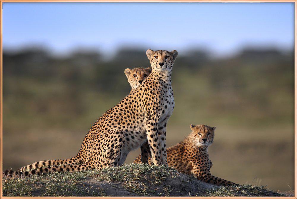 Cheetahs Family - Sultansultan Al -Poster im Alurahmen