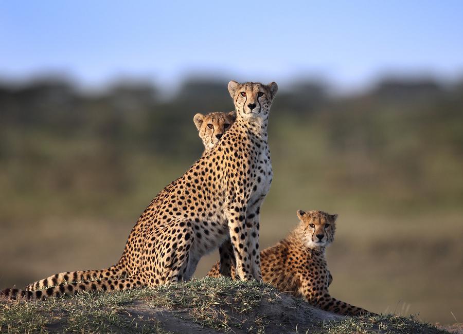 Cheetahs Family - Sultansultan Al Canvas Print