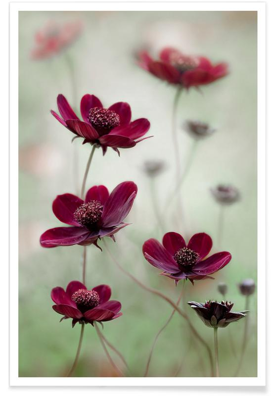 Cosmos Sway - Mandy Disher affiche