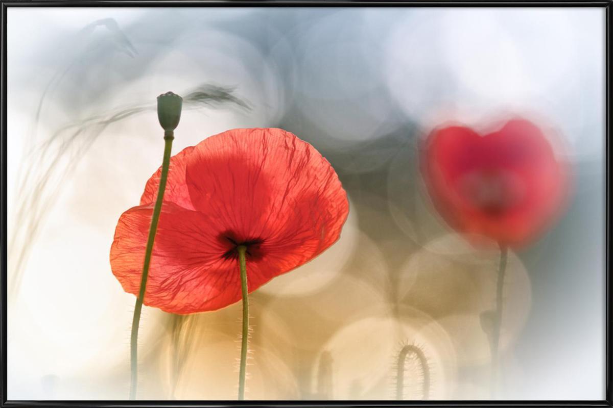 Morning Poppies - Steve Moore affiche encadrée