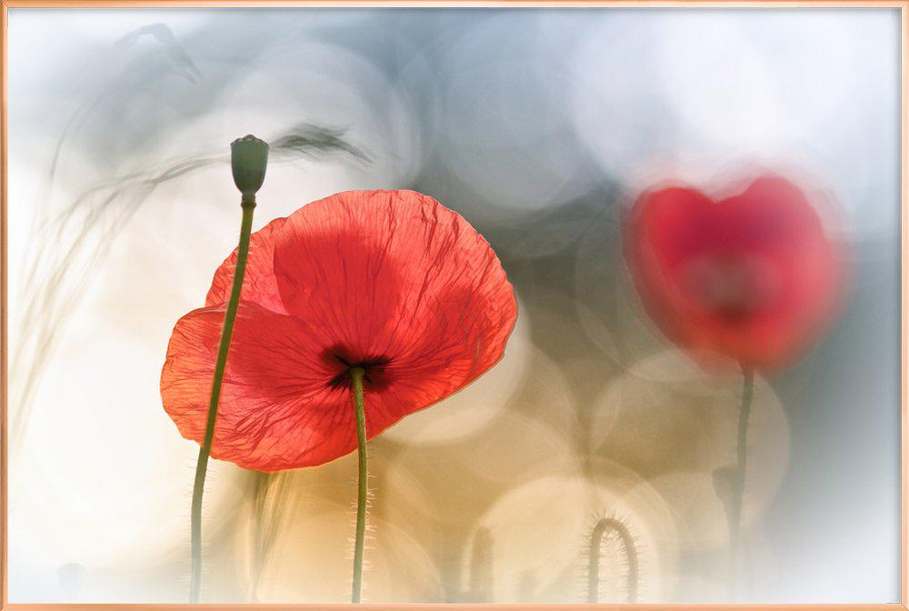 Morning Poppies - Steve Moore affiche sous cadre en aluminium