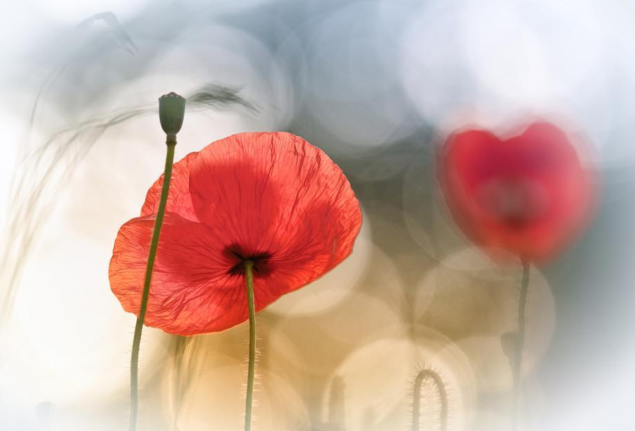 Morning Poppies - Steve Moore tableau en verre