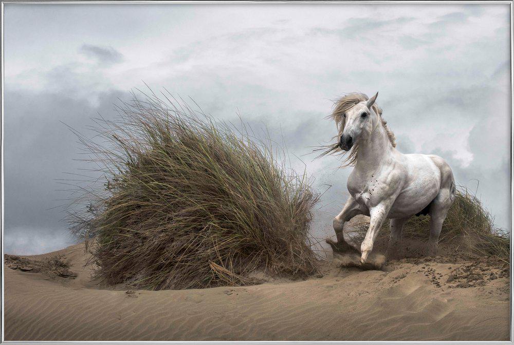 White Stallion on the Beach - LucieBressy Poster in Aluminium Frame