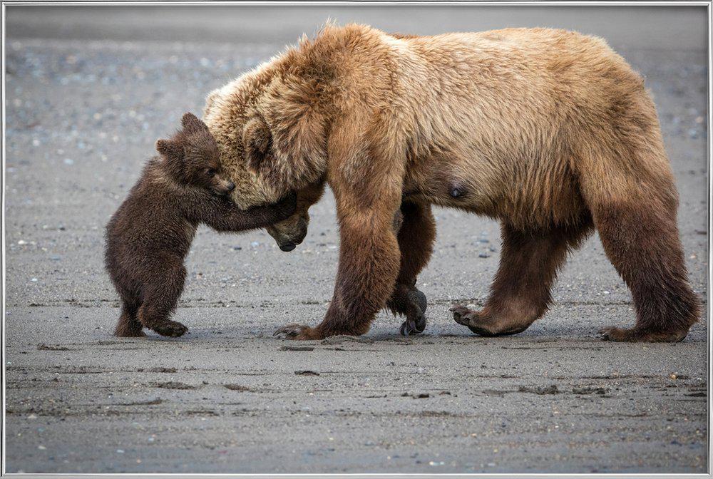 A Little Bear Hug - Renee Doyle affiche sous cadre en aluminium