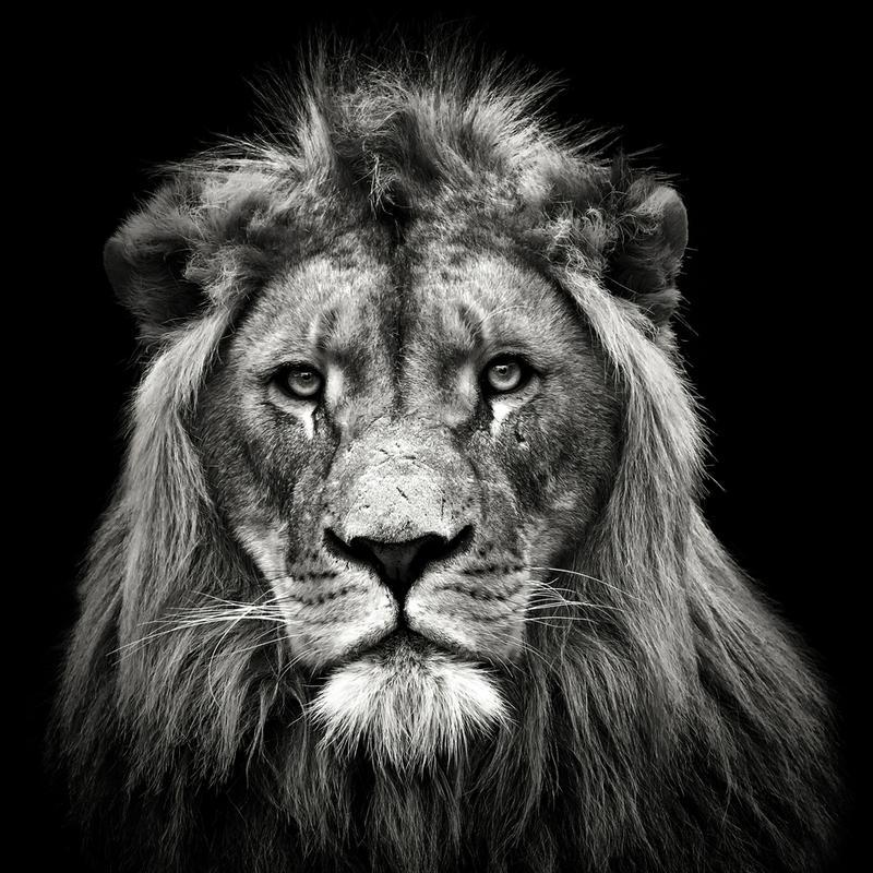 Young Male Lion - Christian Meermann Aluminium Print