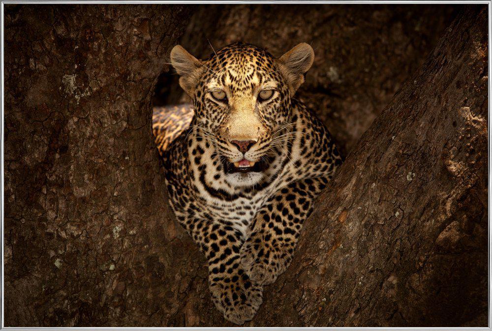 Leopard Resting on a Tree at Masai Mara - Ozkan Ozmen Poster in Aluminium Frame