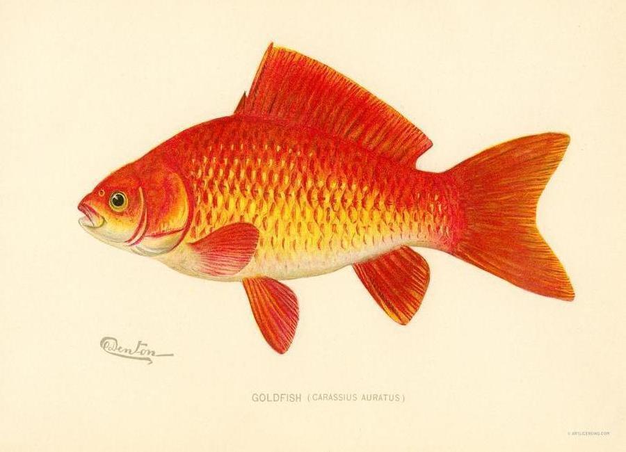 Goldfish -Leinwandbild