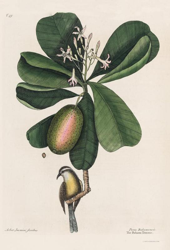 Mark Catesby, Naturalist, 1720's alu dibond