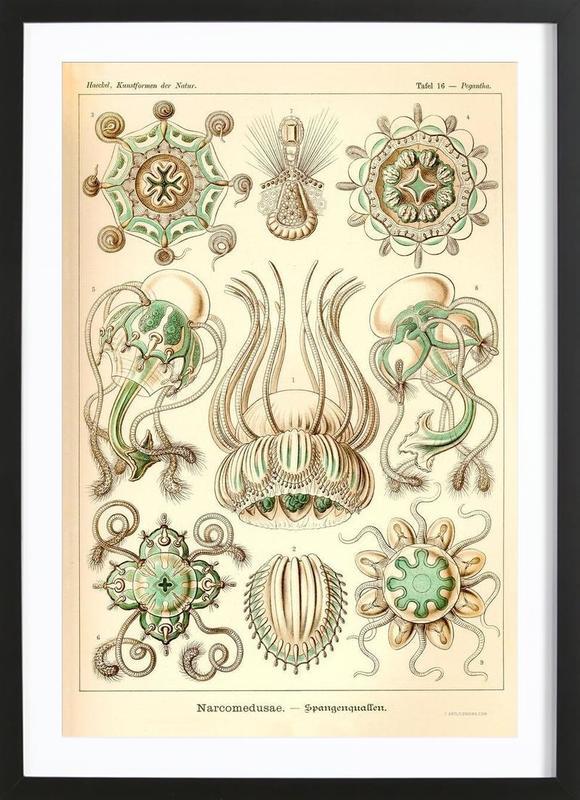 Narcomedusae - Scheiben-Strahlinge - Heliodiscus -Bild mit Holzrahmen
