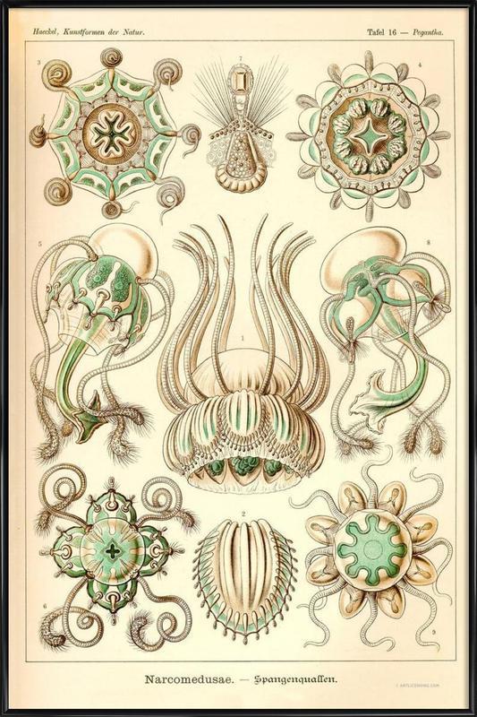 Narcomedusae - Scheiben-Strahlinge - Heliodiscus ingelijste poster