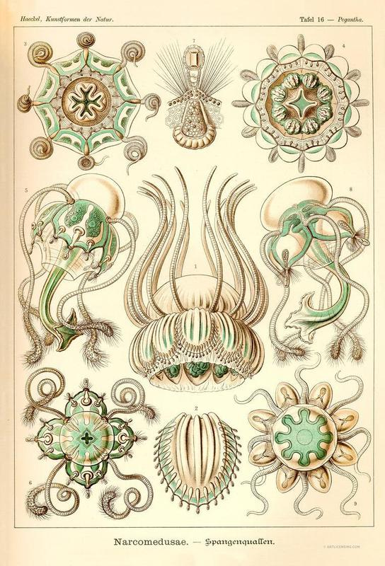 Narcomedusae - Scheiben-Strahlinge - Heliodiscus acrylglas print