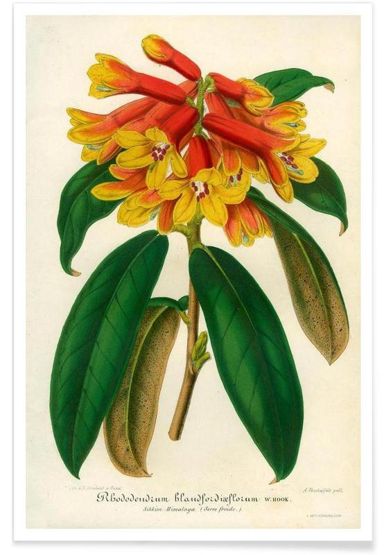 Orange Yellow Rhododendron poster