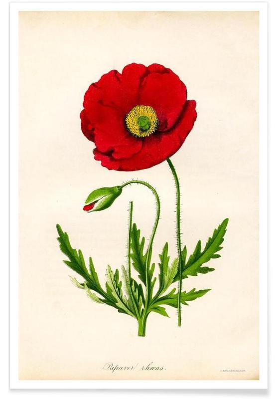 Papaver Rhoeas, Red Poppy poster