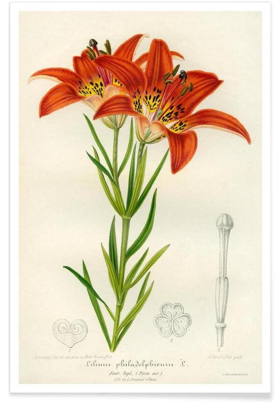Western Red Lily -Poster