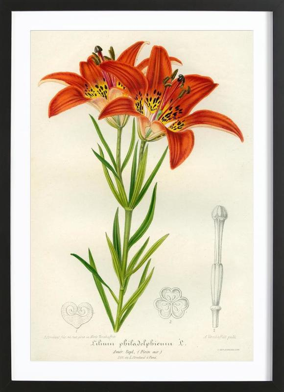 Western Red Lily Framed Print