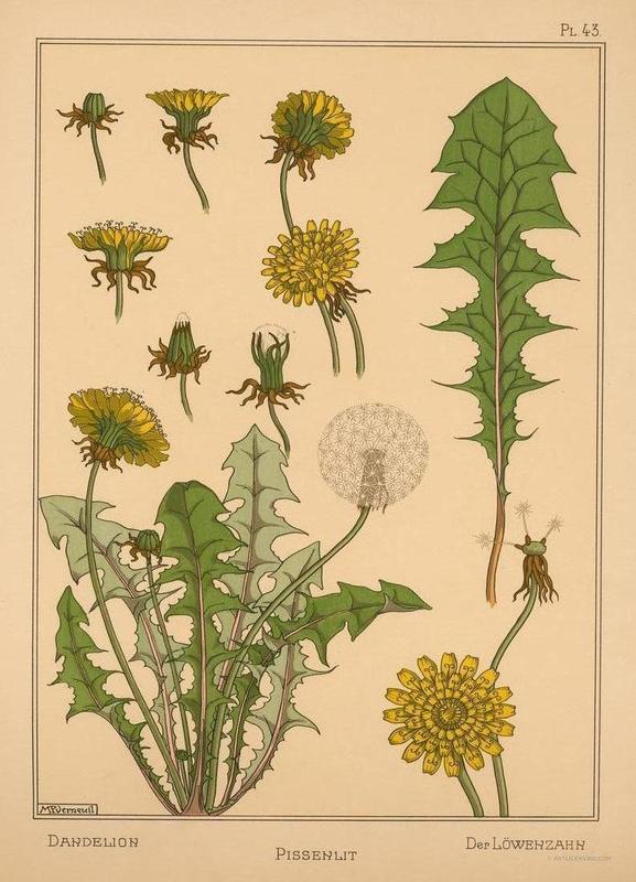 Eugene Grasset - Dandelion 43 Canvas Print