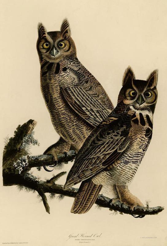 Great Horned Owl -Alubild