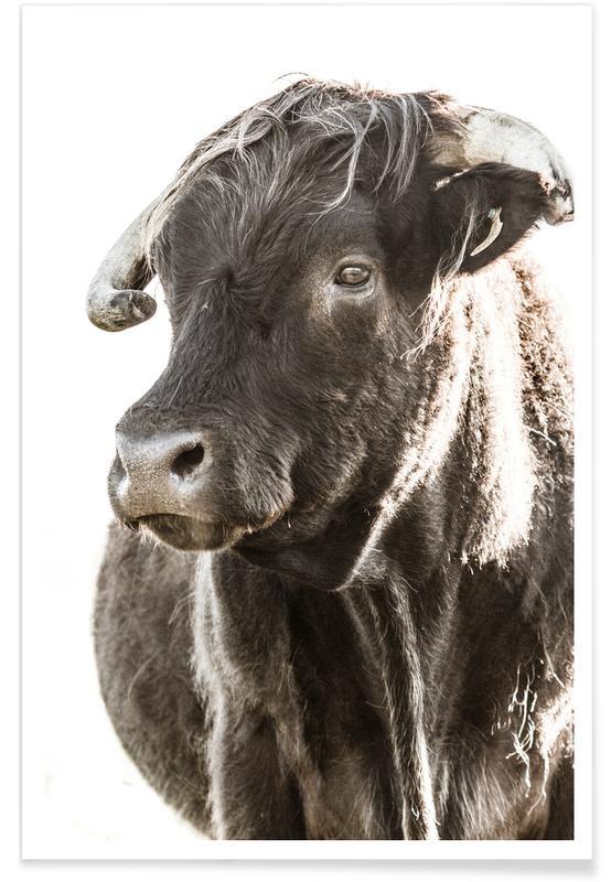 Cows, Bulls Head ll Poster