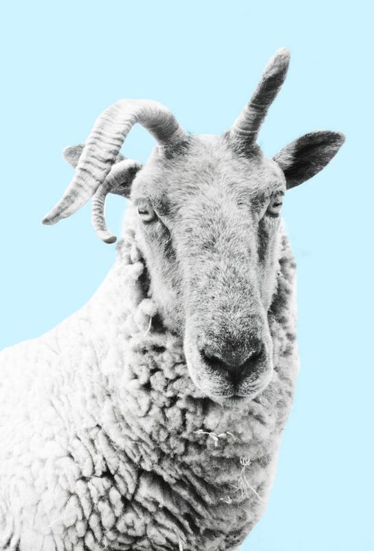 Blue Sheep Aluminium Print