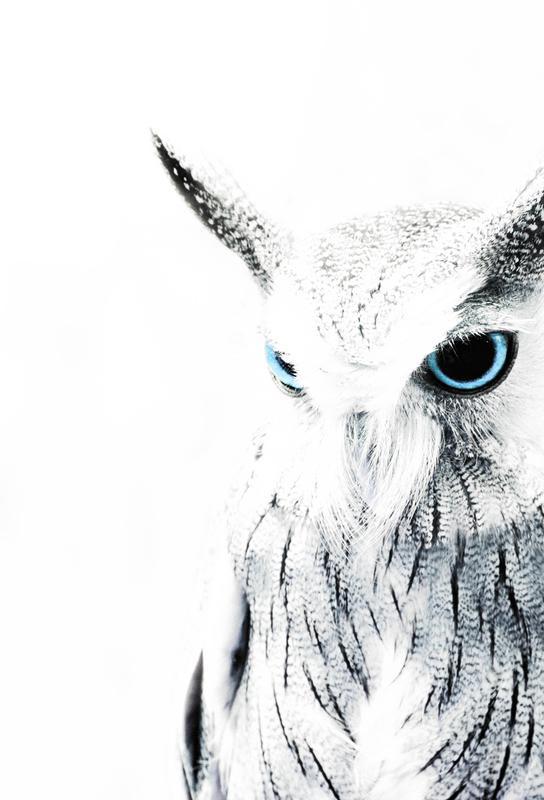 Owl II Impression sur alu-Dibond