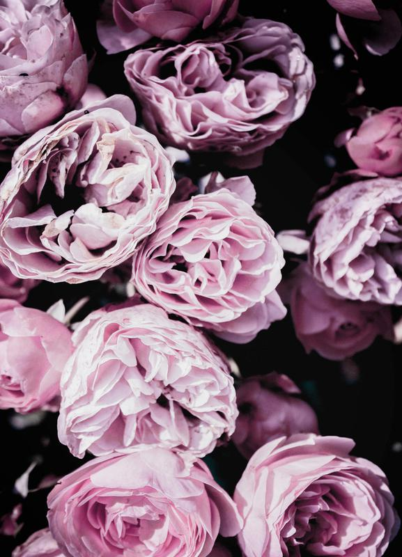 Pink Flowers III Canvas Print