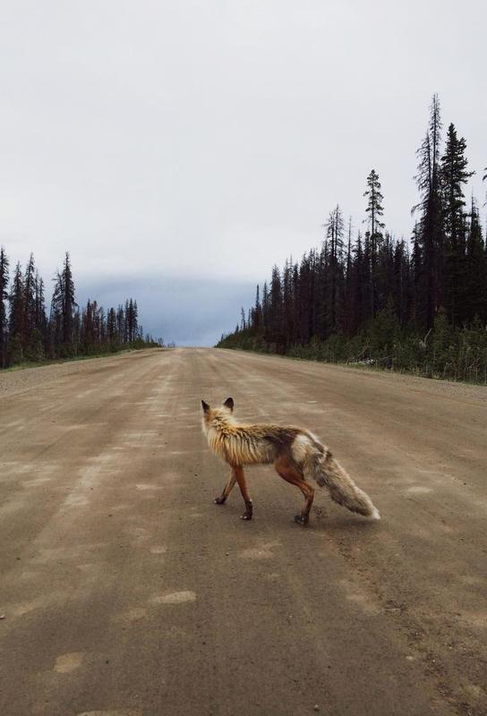 Road Fox -Alubild