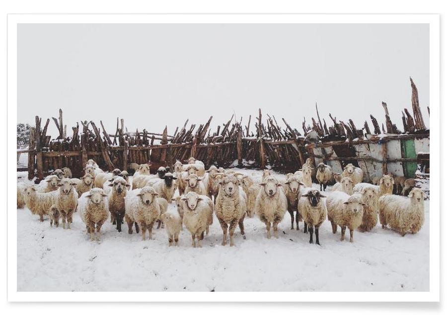Schapen, Snowy Sheep Stare poster