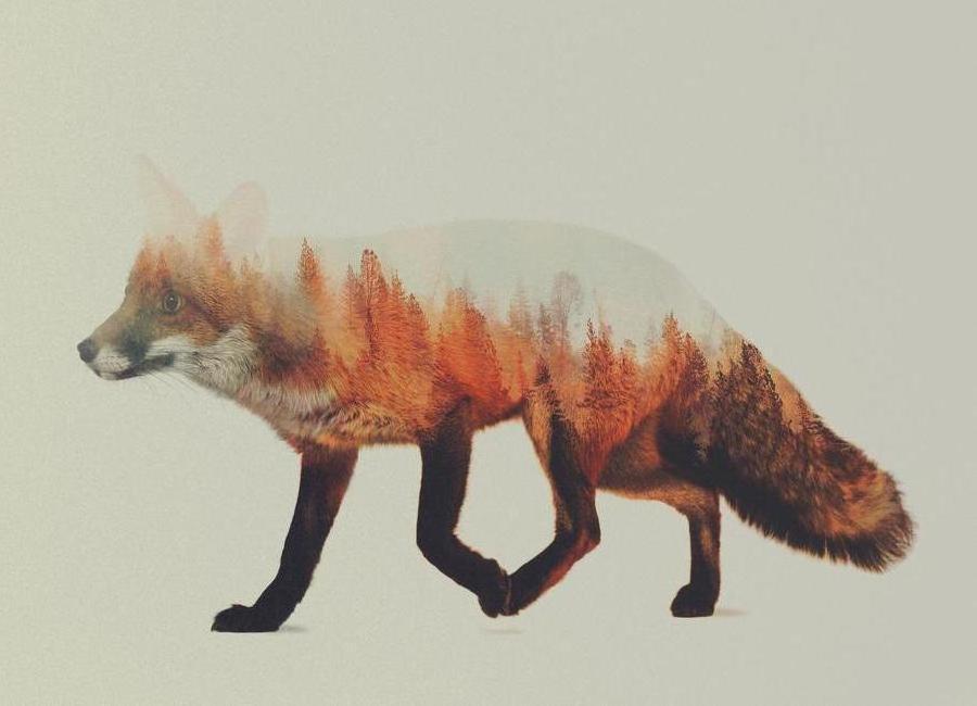 Norwegian Woods: The Fox Canvas Print