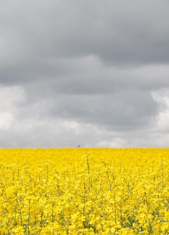 Grey Sky Meets Yellow Fields -Leinwandbild