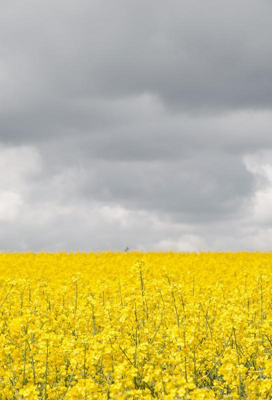 Grey Sky Meets Yellow Fields acrylglas print