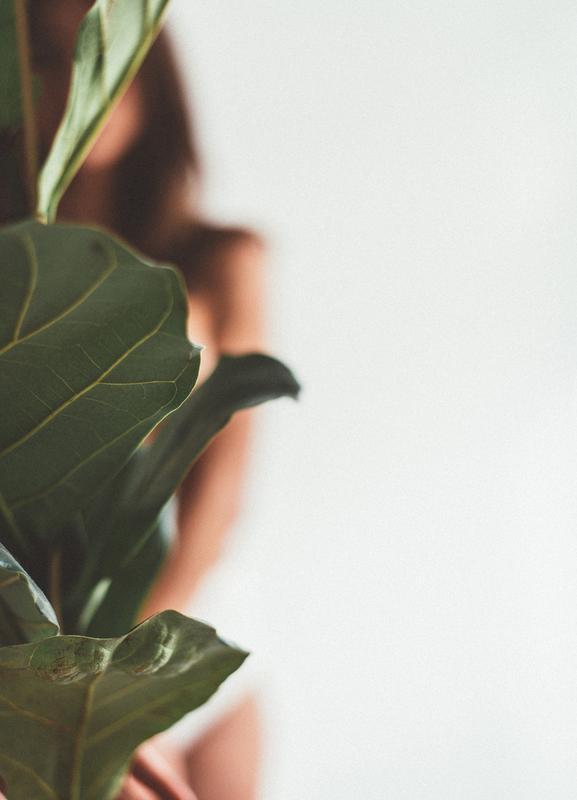 Ficus Lyrata 1 canvas doek