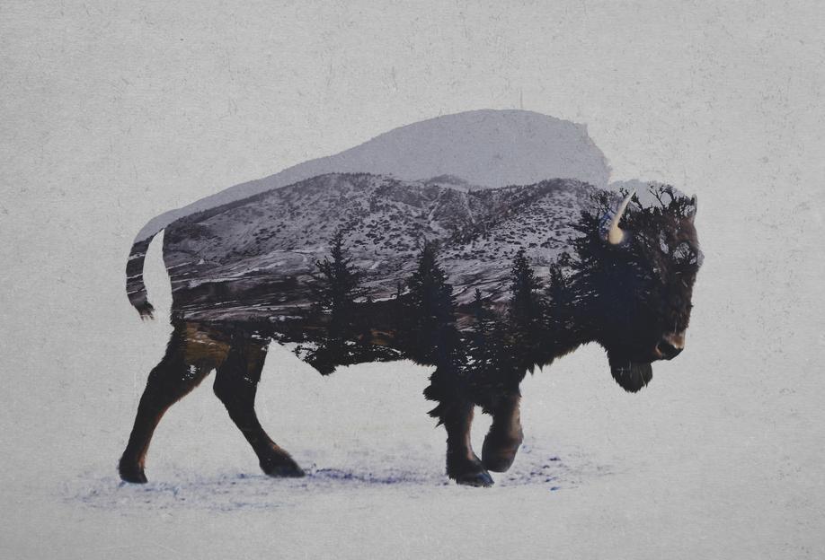 The American Bison -Acrylglasbild
