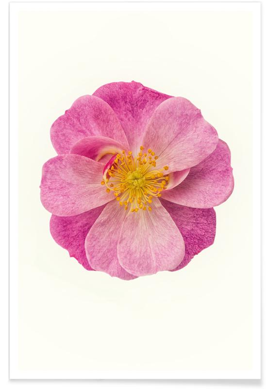 Single Wild Pink Poster