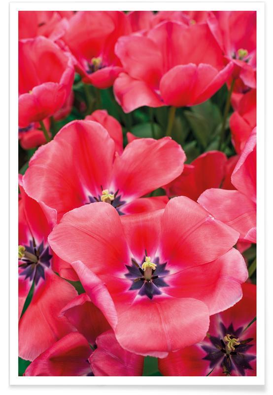 Tulips, Big Pink Tulips Poster