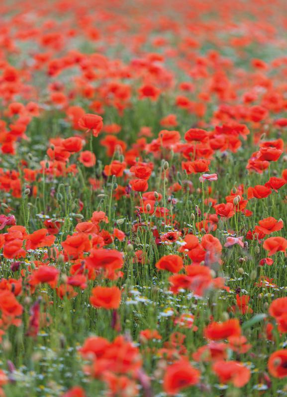 Poppy Field toile