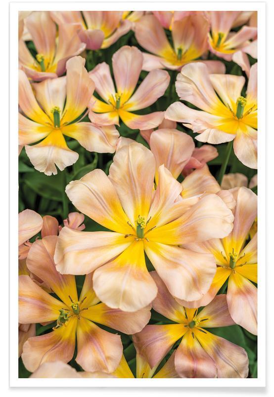 Tulpen, Golden Tulips -Poster