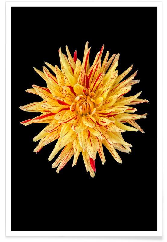 , Dahlia 5 Poster