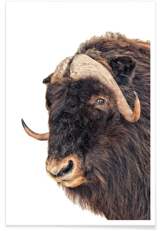 Buffalos, Animal 3 Poster