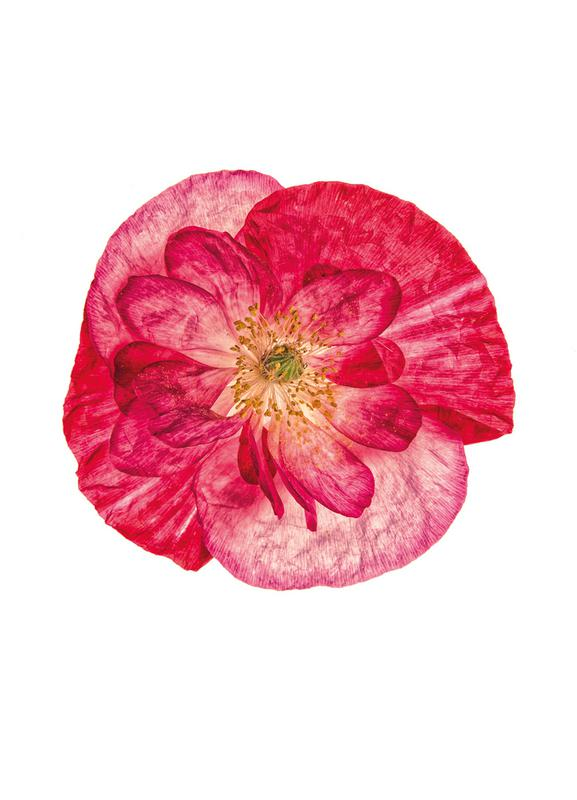 Poppy 1 -Leinwandbild