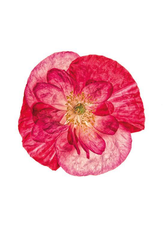 Poppy 1 -Acrylglasbild