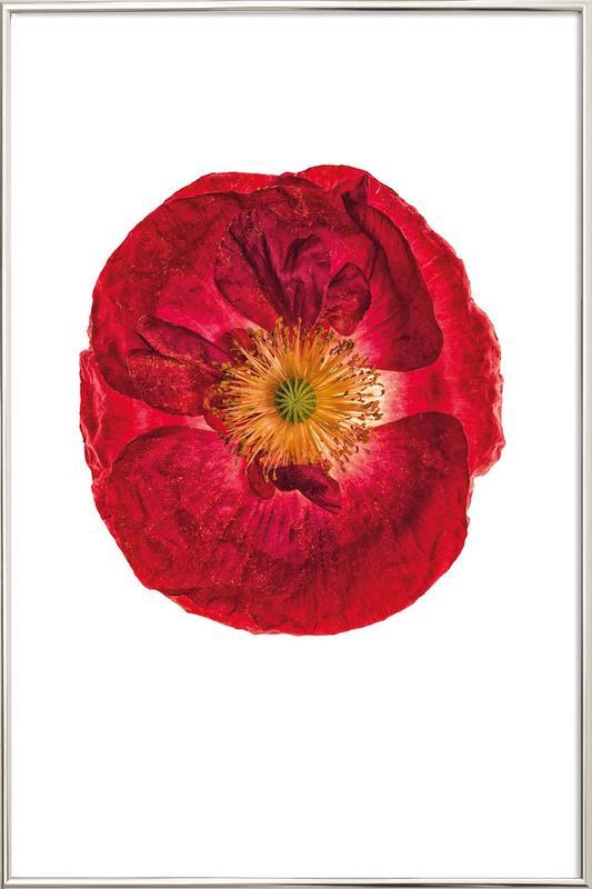 Poppy 2 -Poster im Alurahmen
