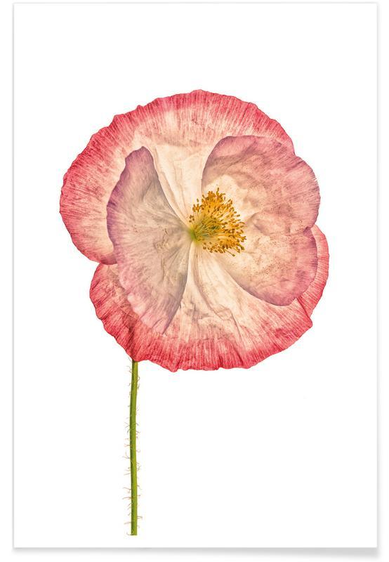 Coquelicots, Poppy 3 affiche