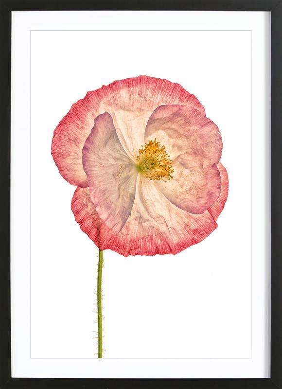 Poppy 3 Framed Print