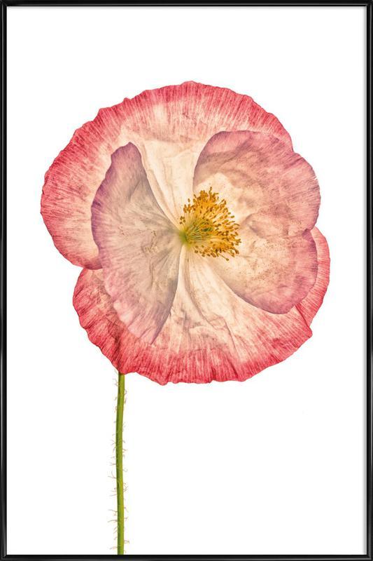 Poppy 3 -Bild mit Kunststoffrahmen