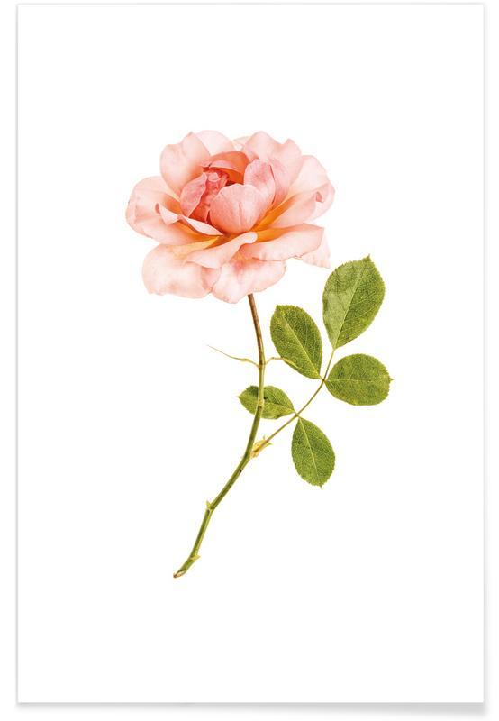 Roses, Rose 1 Poster