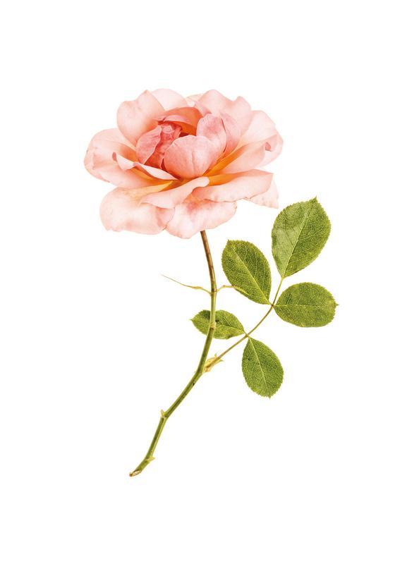 Rose 1 toile