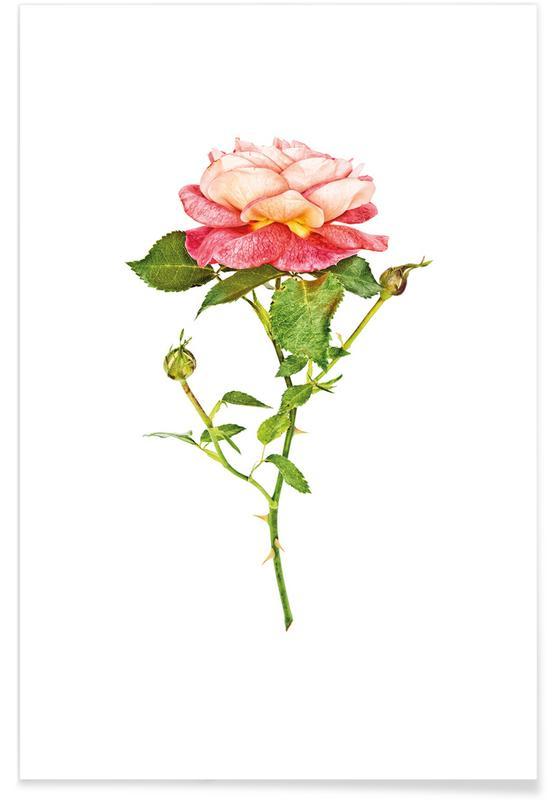 Rose 2 -Poster