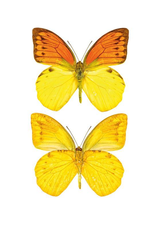 Butterfly 7 -Acrylglasbild