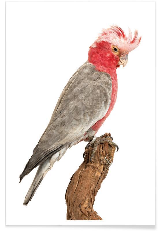 Parrots, Bird 1 Poster